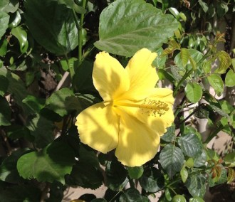 Yellow hibiscus 5.16