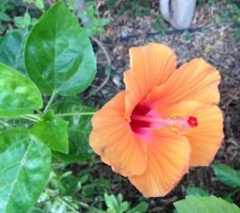 Hibiscus 8.16
