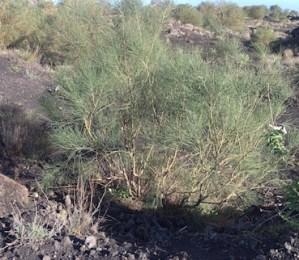 'Pioneer' plant: Etna broom