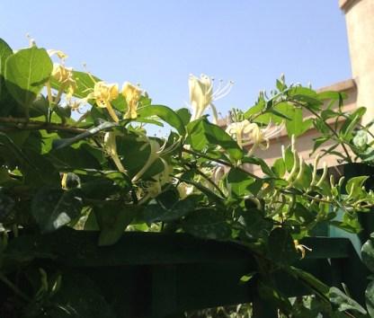Honeysuckle flowering 4.17