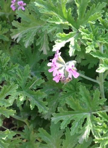 Perlargonium flower + bee