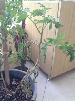 Balcony tomato with leaf wilt