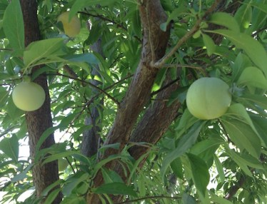 Ripening plums
