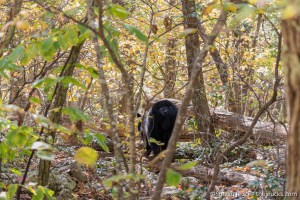 Black Bear, Shenandoah NP
