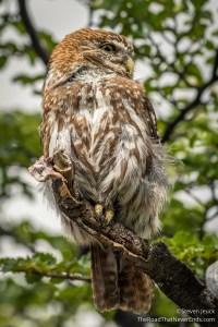 Owl on Laguna Torre Hike