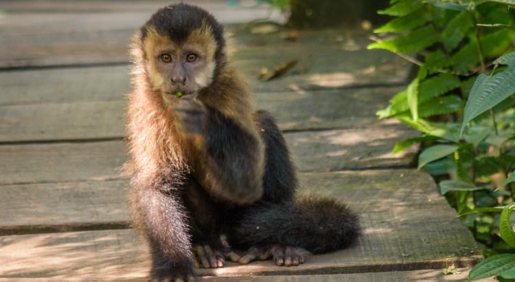 """Wild"" Capuchin Monkey"