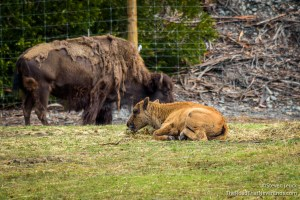 American Bison Calf and Adult