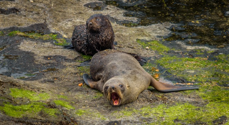 "Fur Seals, ""Kekeno"""