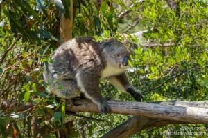 Koala, Koala Conservation Centre