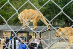 Lion Feeding