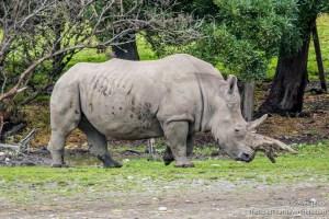 White Rhinoceros with Damaged Horn