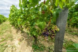 Grapes at Château Cote De Baleau