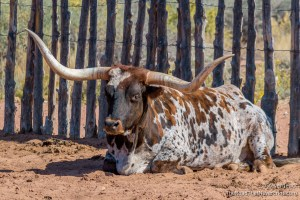 Longhorn at Pipe Springs NM