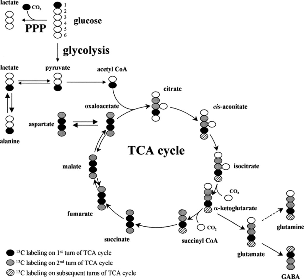 Hypothermia Depression Of Tricarboxylic Acid Cycle Flux