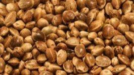 Hemp_Seeds3