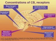 Our brain contains cannabinoid receptors which are activating when we consume cannabis.