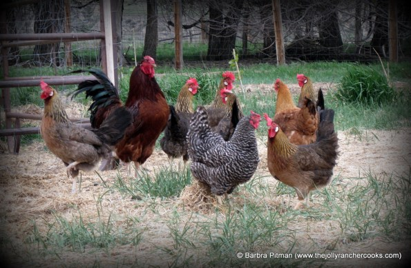 Rooster Joe and flock of hens