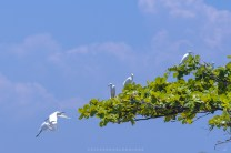 Migrating flock of egrets rest among one of the trees in a local fishing community of Vigan City in Ilocos Sur, north of Philippines.