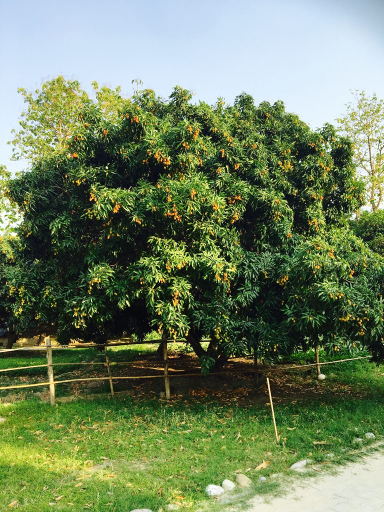 Giant lychee tree
