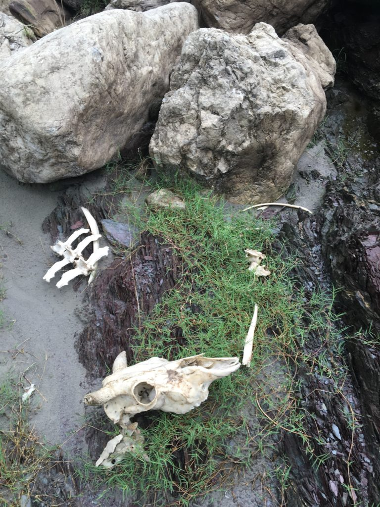 The bones of a once a sacred cow along the Ganga