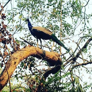 Peacock in HKV India