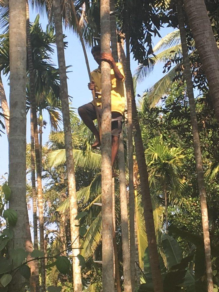 Worker harvesting betel nut