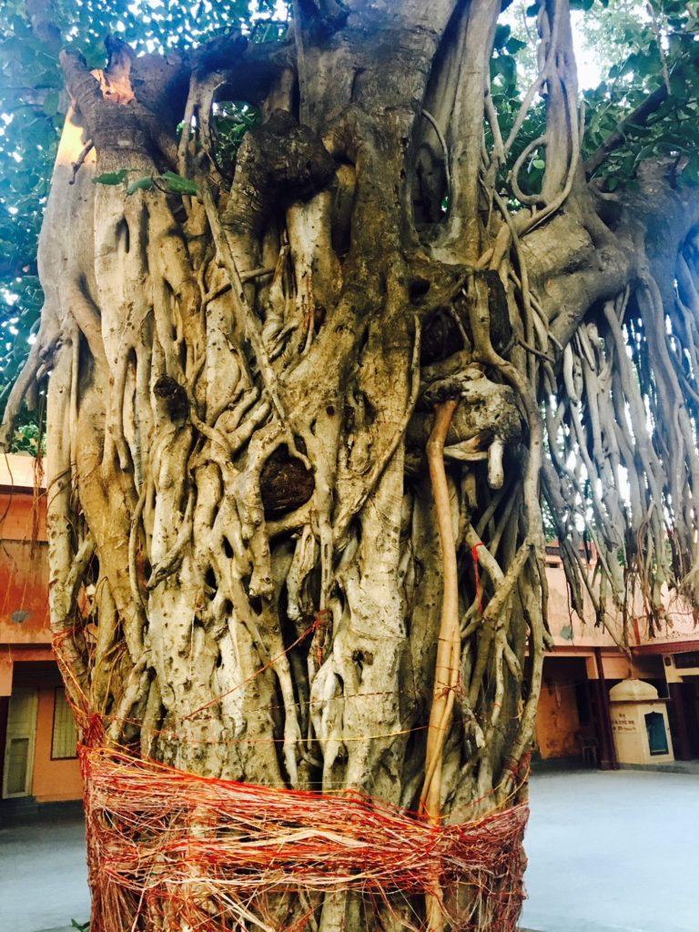 Banyan Tree in India