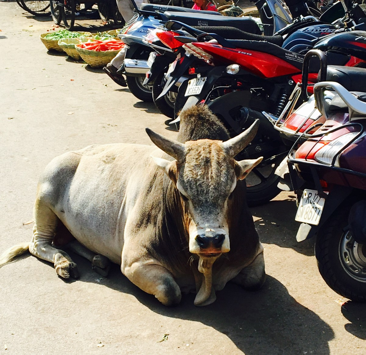 "A ""holy cow"" blocking the motorcycles"