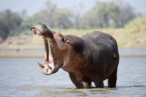 snarky_hippo