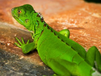 This was the greenest lizard we'd ever seen