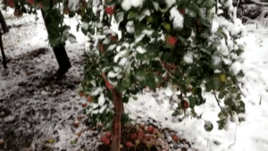 Huge Damage Caused To Apple And Vegetable Crops Kashmir Images
