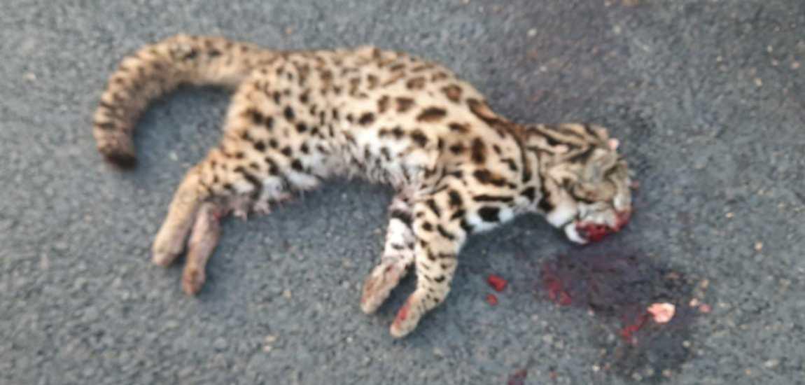 Leopard cub crushed to death in Gantamulla Bala
