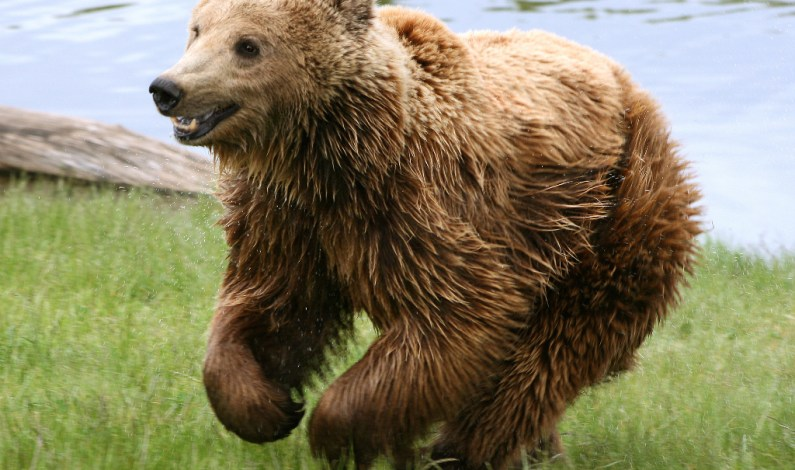Bear attack leaves one person grievously injured