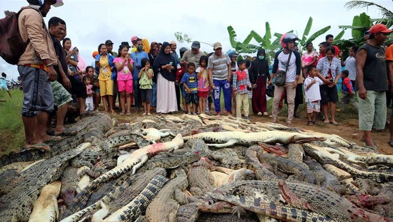Indonesia: Crocodiles kill man, in revenge people slaughter 292 crocs