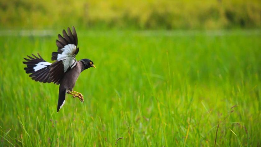 kashmir birds summer