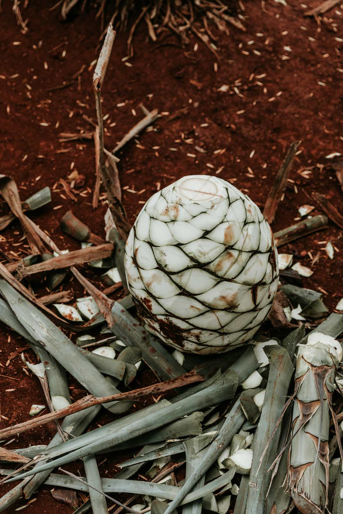 agave in field