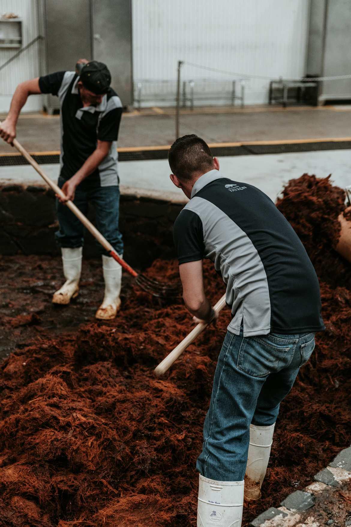 men shoveling agave