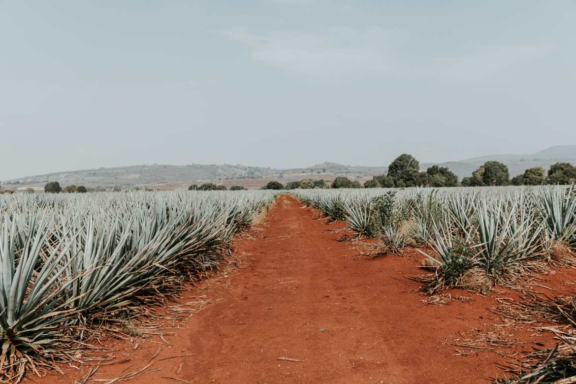 agave field in jalisco mexico