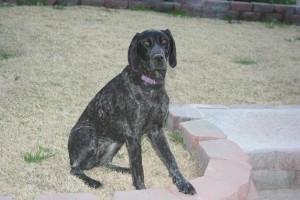 German Shorthaired Pointer Rescue Dog