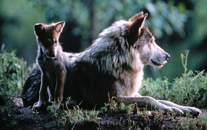 Action Alert: Help Save Wolves