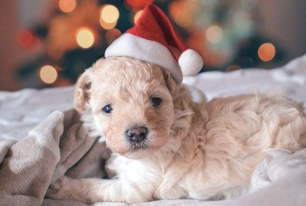 Why You Shouldn't Buy A Christmas Puppy