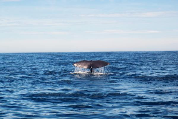 The Plight of the North American Right Whale