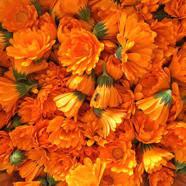 Fresh Calendula Flowers