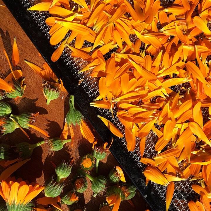 Fresh Calendula Flowers Ready for the Dehydrator
