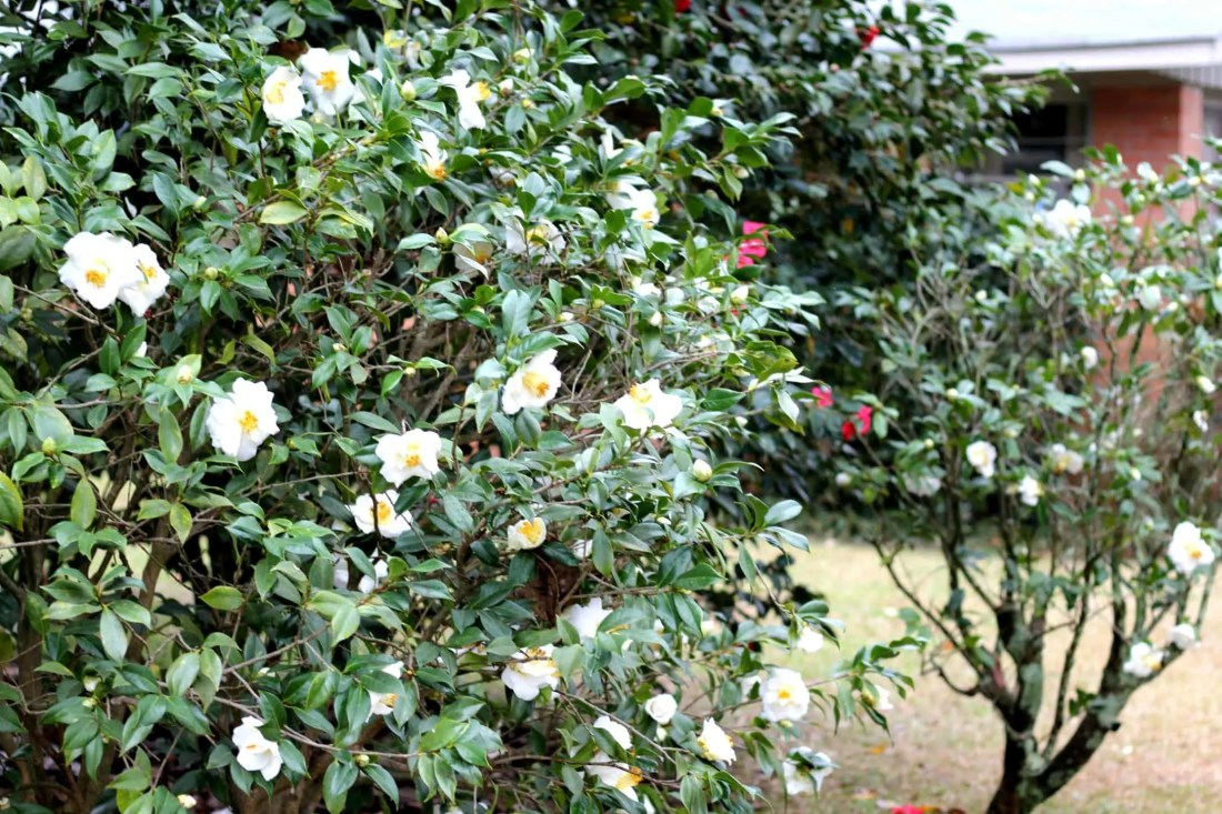 camelliabush