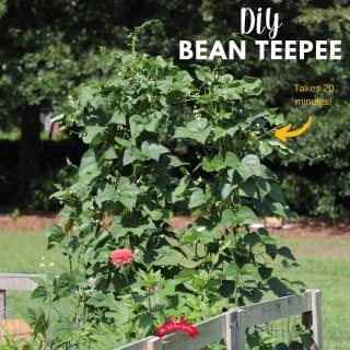Building a Bean Teepee