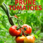 red tomatoes on a pruned vine