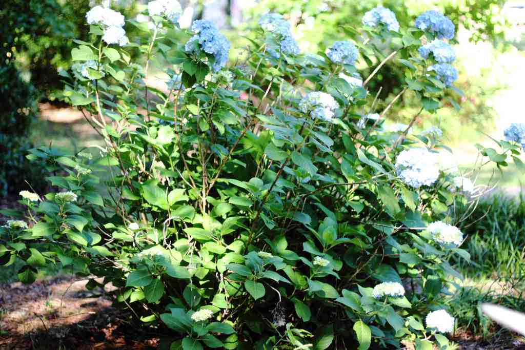 how to prune hydrangeas