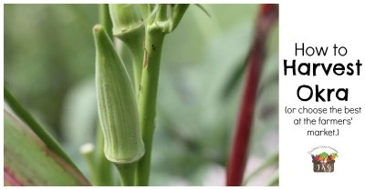 okra harvest facebook