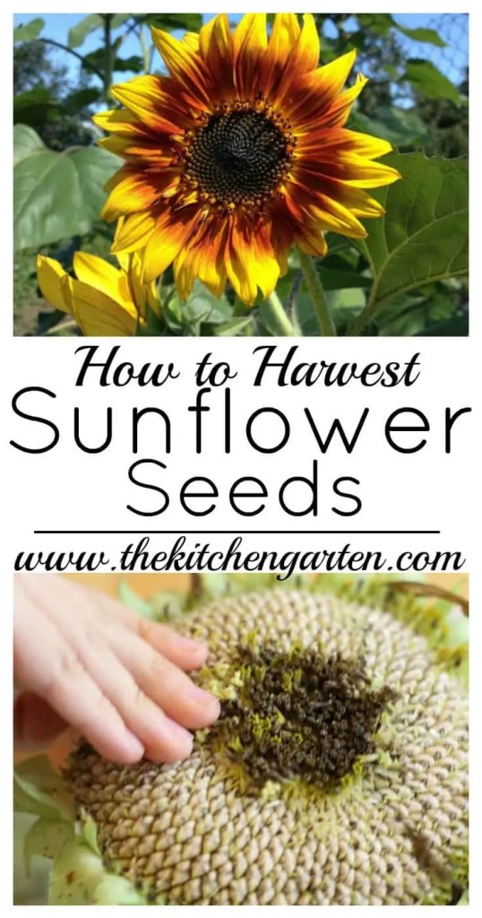 harvest sunflower Seeds